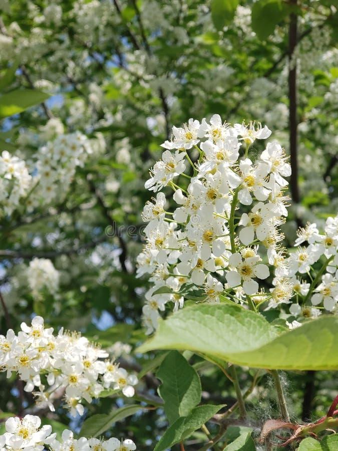 Rama de la flor de cerezo del p?jaro imagenes de archivo