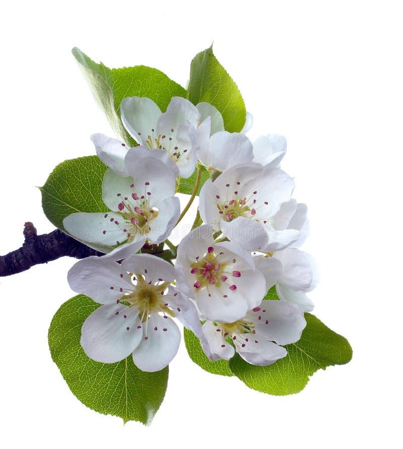 Rama de la flor de la pera imagen de archivo libre de regalías