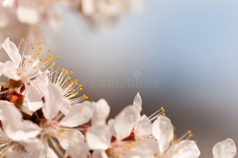 Rama de la flor del cerezo fotos de archivo