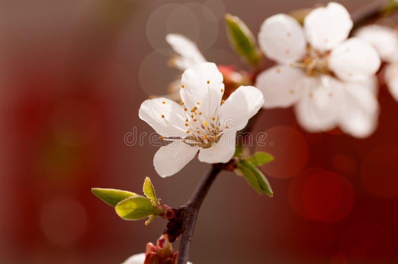 Rama de la flor del cerezo imagenes de archivo
