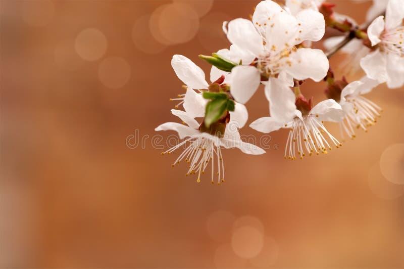 Rama de la flor del cerezo fotos de archivo libres de regalías