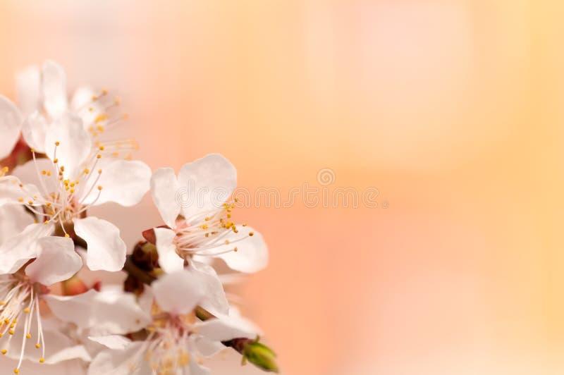 Rama de la flor del cerezo, fondo anaranjado brillante fotografía de archivo libre de regalías