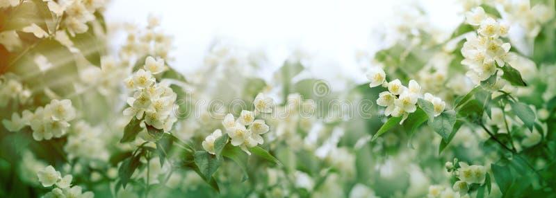 Rama de la flor hermosa del jazmín encendida por los rayos de sol de los rayos del sol foto de archivo libre de regalías