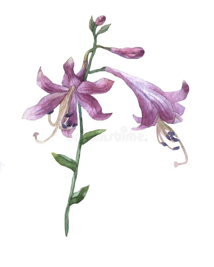 Rama de la flor púrpura del hosta en blanco stock de ilustración