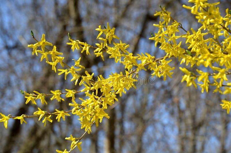 Rama de la forsythia con las floraciones amarillas imágenes de archivo libres de regalías