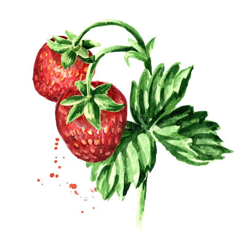 Rama de la fresa con las bayas y las hojas Ejemplo dibujado mano de la acuarela, aislado en el fondo blanco libre illustration