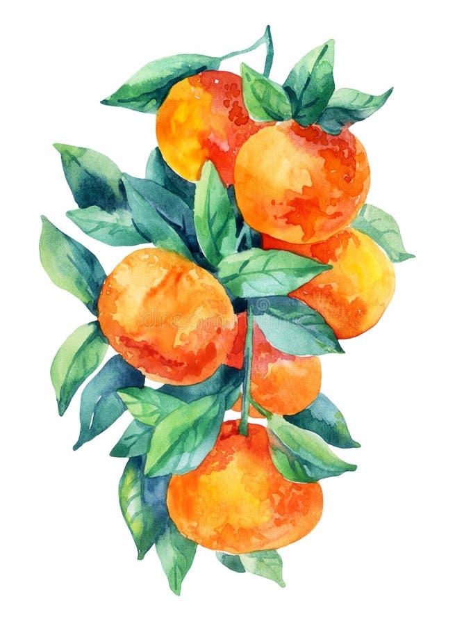 Rama de la fruta de la mandarina de la acuarela con las hojas aisladas en blanco ilustración del vector