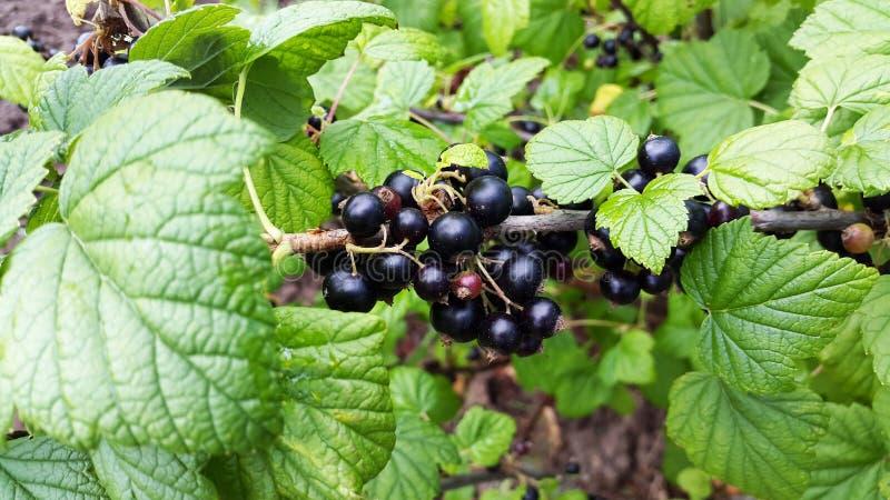 Rama de la grosella negra en el jardín fotos de archivo