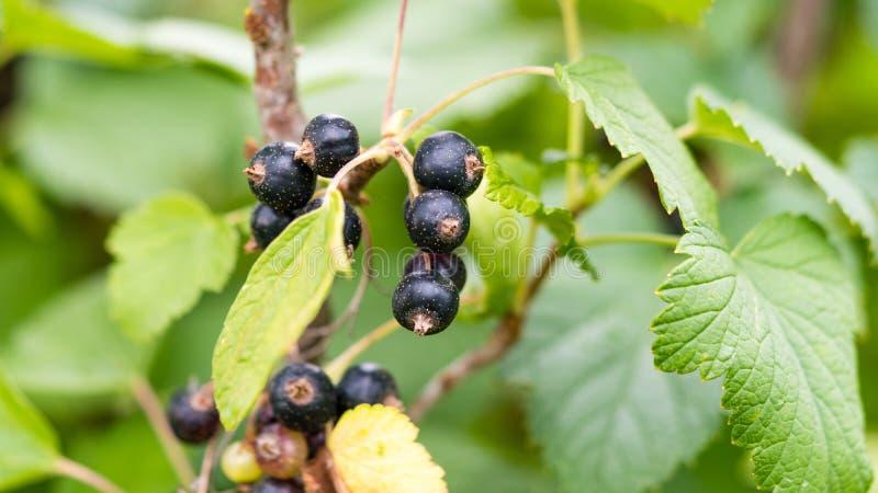 Rama de la grosella negra madura en el jardín Macro del primer imágenes de archivo libres de regalías