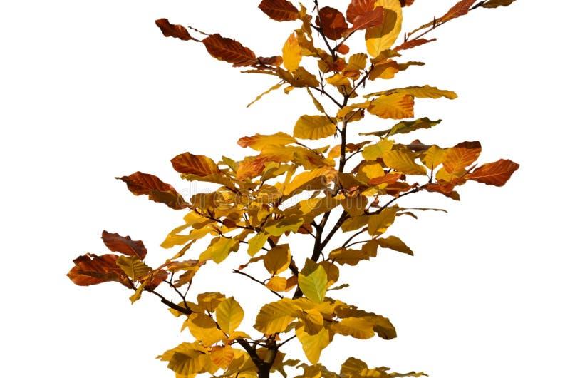 Rama de la haya con las hojas del amarillo aisladas fotos de archivo