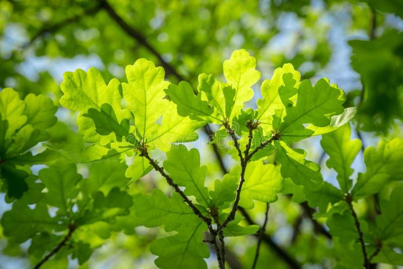 Rama de la hoja verde solar joven del roble fotos de archivo