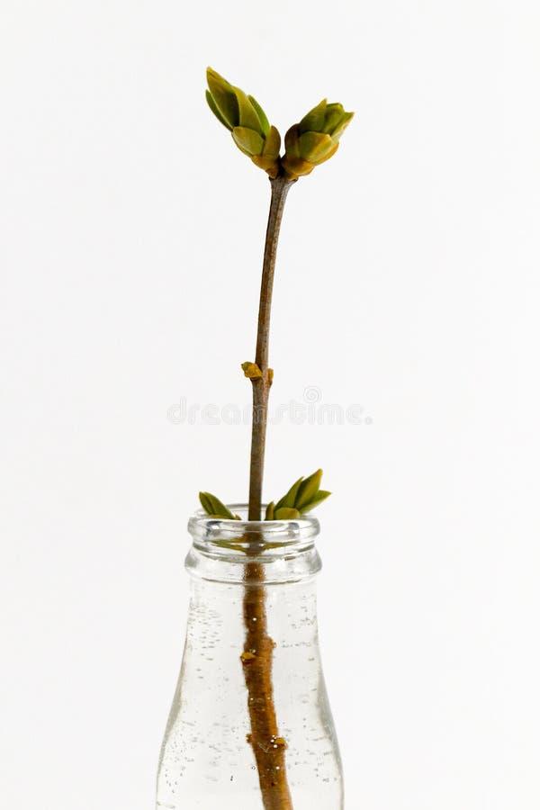 Rama de la lila en el florero de cristal imagenes de archivo