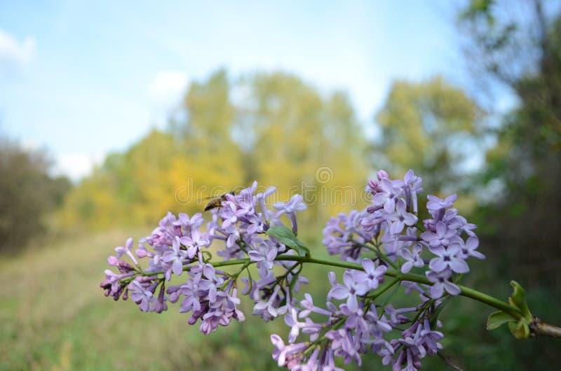 Rama de la lila en un fondo del paisaje borroso fotografía de archivo libre de regalías