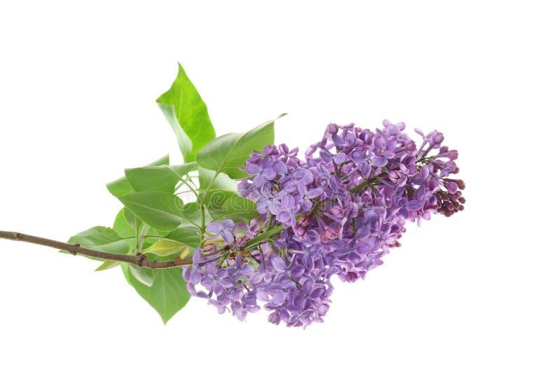 Rama de la lila floreciente en el fondo blanco fotografía de archivo