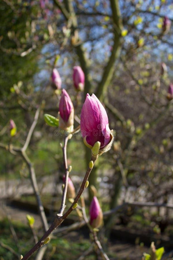 Rama de la magnolia con los brotes en primavera imagenes de archivo