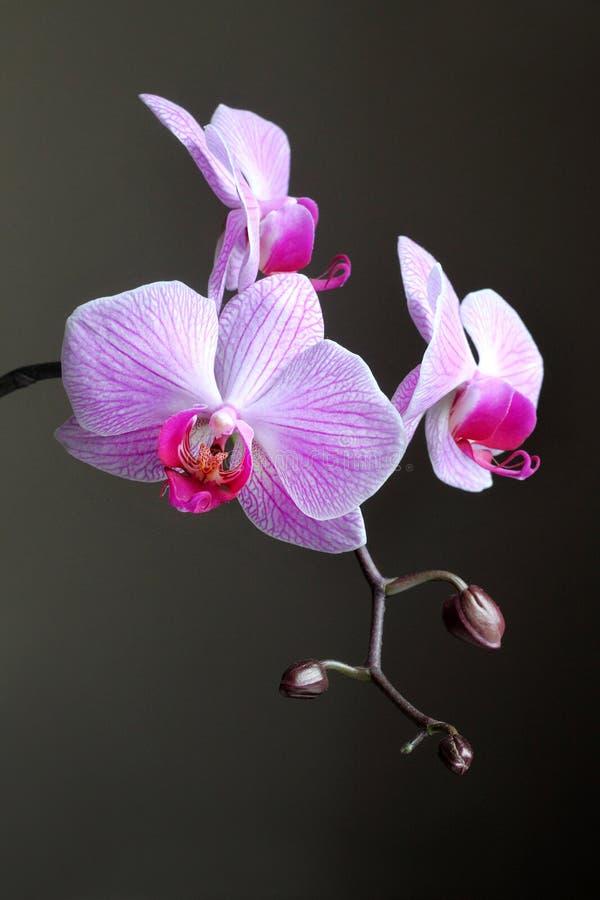 Rama de la orquídea del Phalaenopsis en fondo oscuro imagenes de archivo