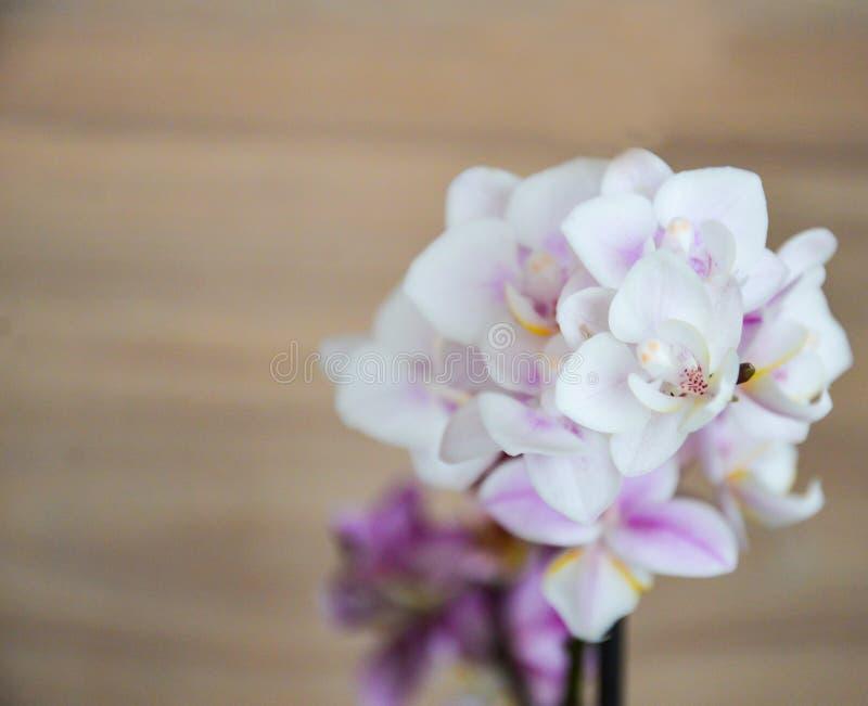 Rama de la orquídea Flores blancas de la orquídea con el centro púrpura y amarillo en el backgroud interior de madera fotografía de archivo libre de regalías