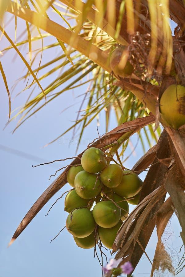 Rama de la palma con las frutas del coco imagenes de archivo