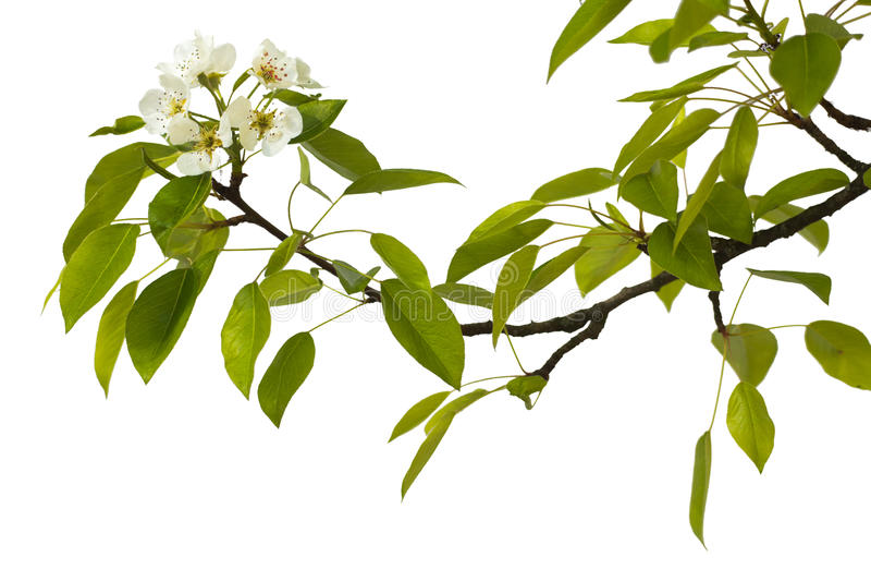 Rama de la pera con las flores imagenes de archivo