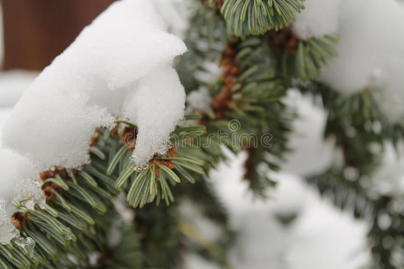 Rama de la picea debajo de la nieve foto de archivo libre de regalías