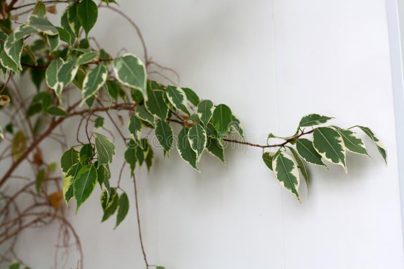Rama de la planta del benjamina de los ficus en el fondo blanco imagen de archivo