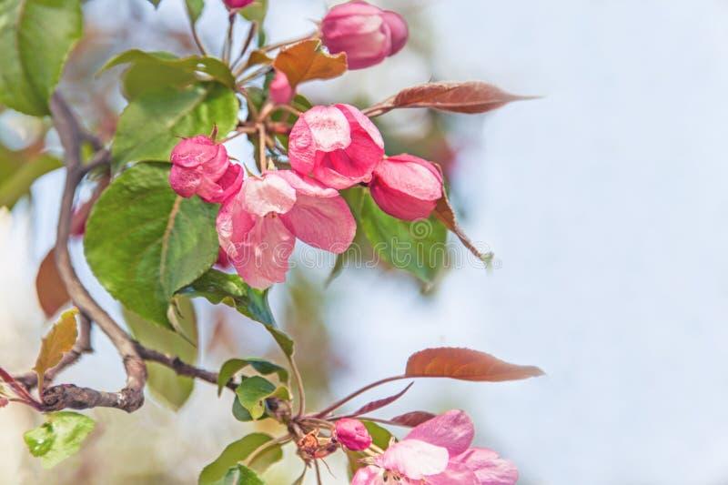Rama de la primavera con las pequeñas flores rosadas Copie el espacio fotos de archivo libres de regalías