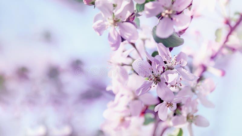 Rama de la primavera con las pequeñas flores rosadas Fondo Copie el espacio Vintage teñido de cristal imagenes de archivo