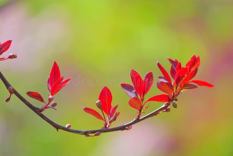 Rama de la primavera del Prunus Cerasifera fotografía de archivo