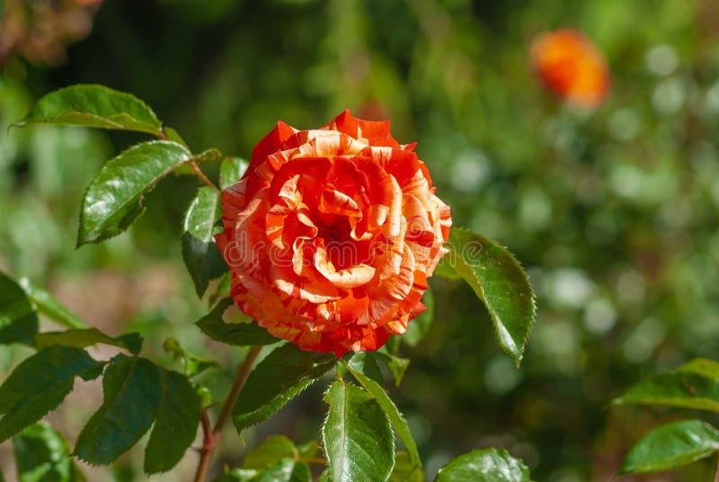 Rama de la rosa con el primer amarillo-rojo de la flor en jardín de la primavera fotos de archivo libres de regalías