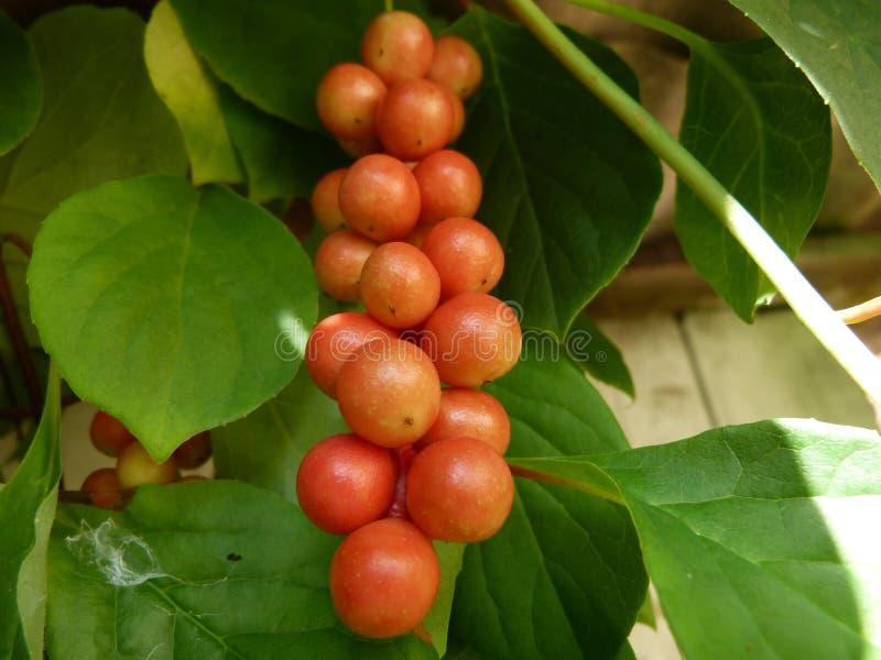 Rama de las bayas chinas de la vid de la magnolia imagenes de archivo