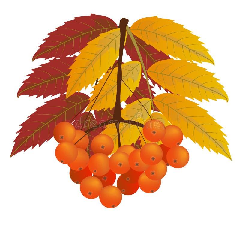 Rama de las bayas de serbal con las hojas del rojo y del amarillo Otoño, caída libre illustration