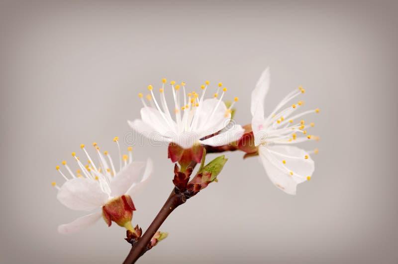 Rama de las flores del cerezo fotografía de archivo libre de regalías