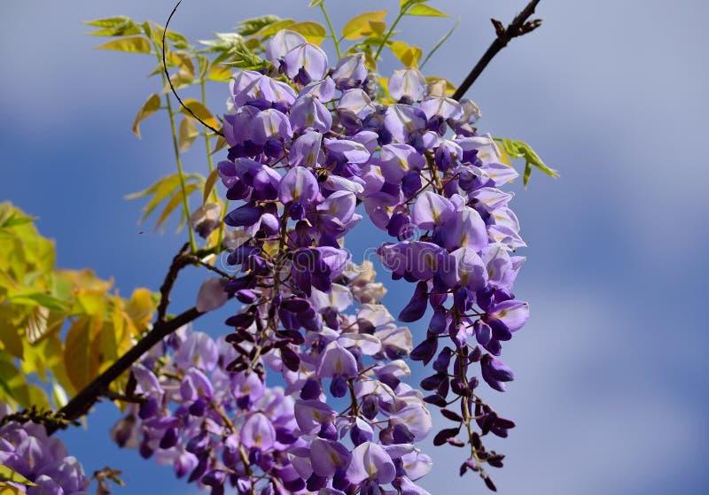Rama de las flores de la glicinia fotos de archivo libres de regalías