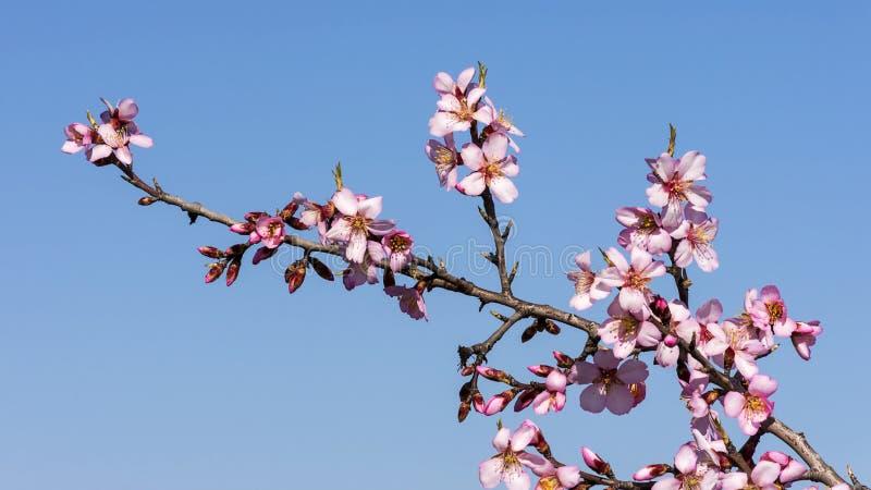 Rama de las flores rosadas suaves del rosa y blancas de almendra del árbol en el fondo natural del cielo azul imagen de archivo
