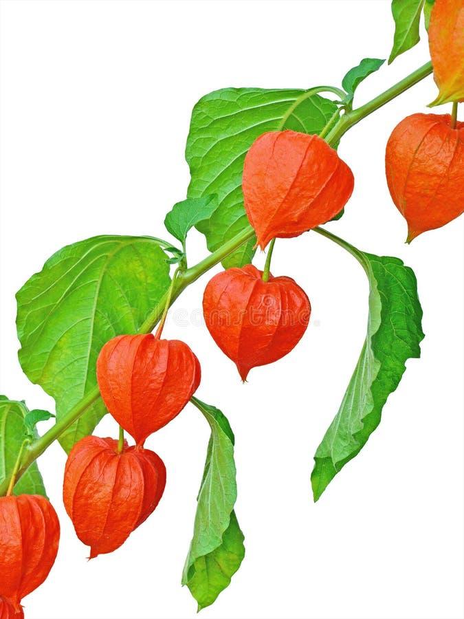 Rama de las frutas chinas de la linterna foto de archivo libre de regalías