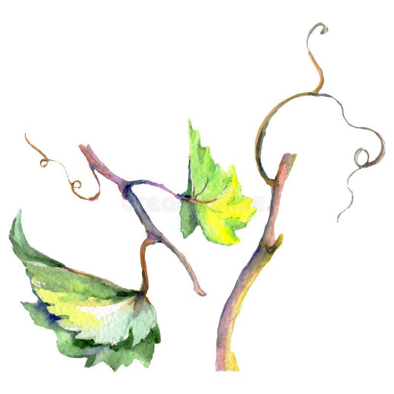 Rama de las hojas verdes de la vid Sistema del ejemplo del fondo de la acuarela Elemento aislado del ejemplo de la uva stock de ilustración