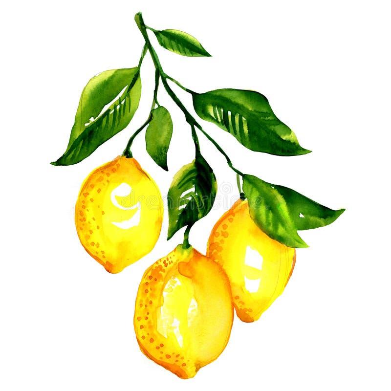 Rama de limones con las hojas aisladas stock de ilustración