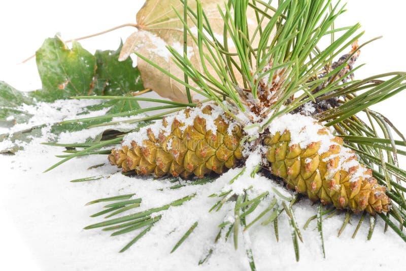 Rama de los conos del árbol de navidad y del pino cubiertos con nieve en fondo aislado imagen de archivo