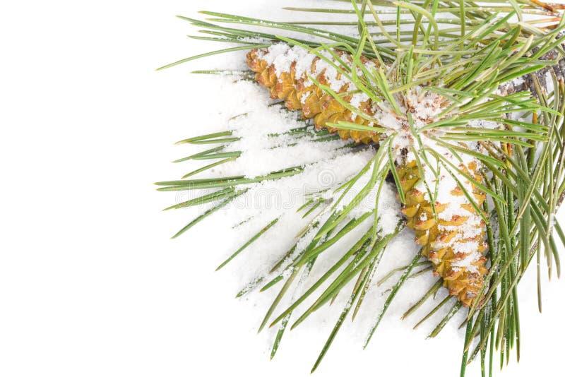 Rama de los conos del árbol de navidad y del pino cubiertos con nieve en fondo aislado foto de archivo libre de regalías