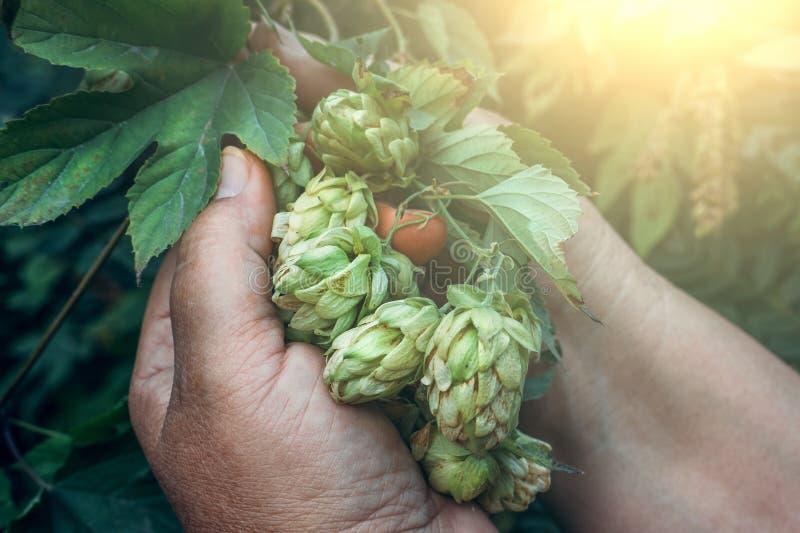 Rama de los conos de salto frescos verdes para la producción de la cerveza y del pan en manos femeninas imagen de archivo libre de regalías