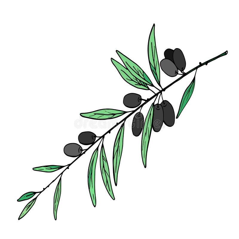 Rama de olivo con imagen del vector de las aceitunas libre illustration