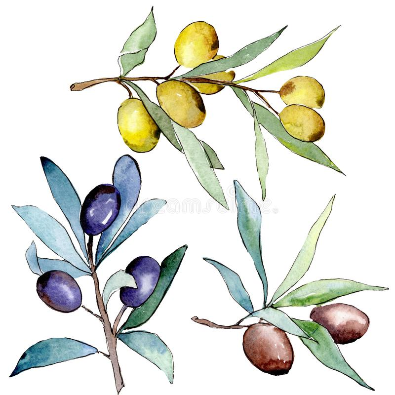 Rama de olivo con la fruta negra y verde Sistema del ejemplo del fondo de la acuarela Elemento aislado del ejemplo de las aceitun stock de ilustración