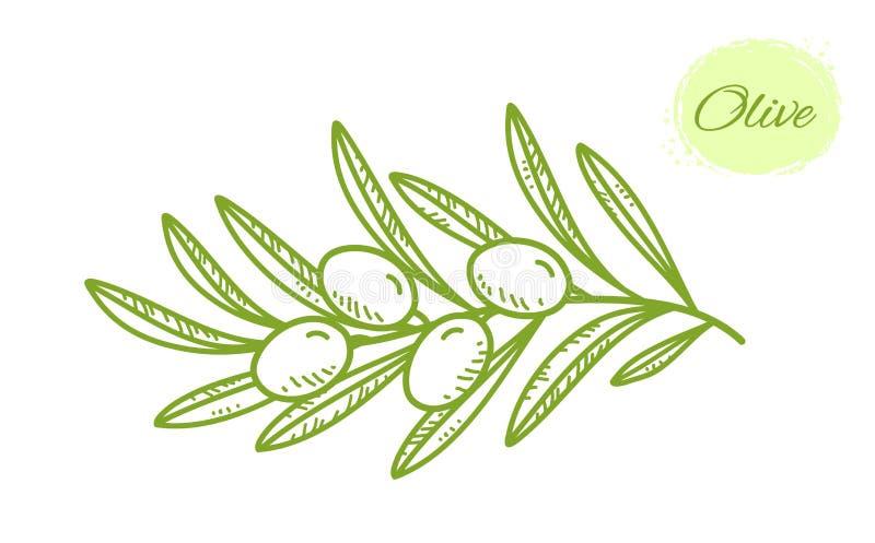 Rama de olivo exhausta aislada verde de la mano con las hojas stock de ilustración