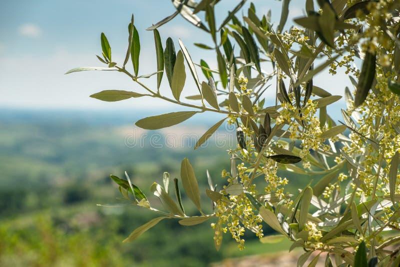 Rama de olivo floreciente en Toscana fotografía de archivo libre de regalías