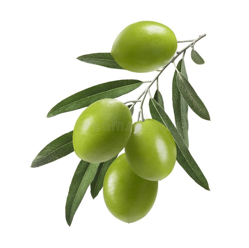 Rama de olivo verde vertical aislada en el fondo blanco fotos de archivo