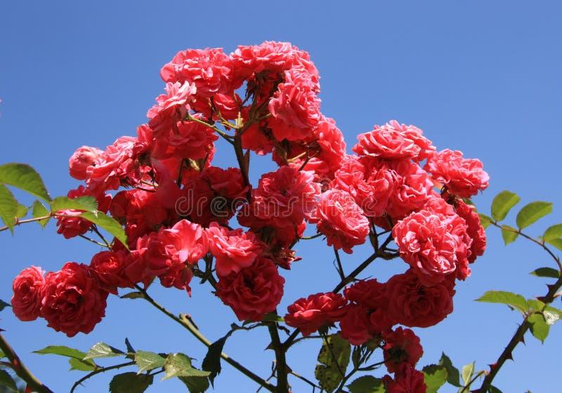 Rama de rosas imagen de archivo