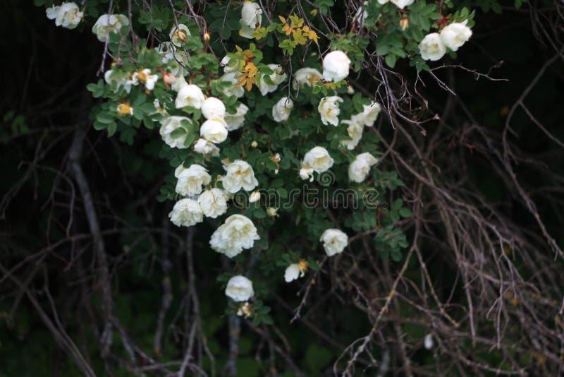 Rama de rosas salvajes mullidas en la oscuridad de la tarde imágenes de archivo libres de regalías