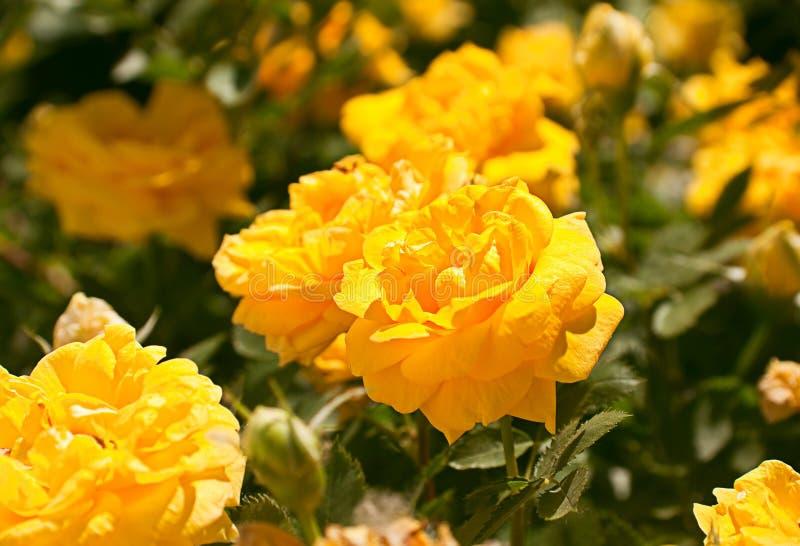 Rama de Rose fotografía de archivo libre de regalías