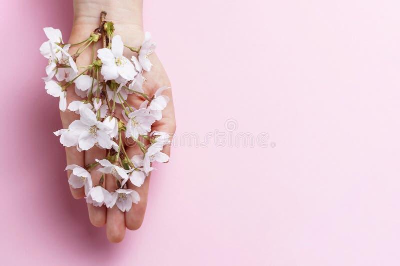 Rama de Sakura en mano femenina en el fondo rosado, espacio de la copia fotografía de archivo libre de regalías