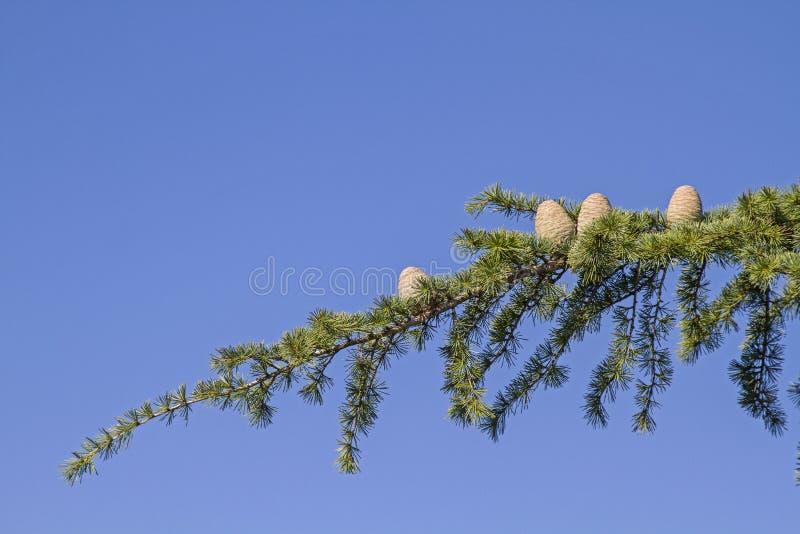 Rama de un árbol de cedro imagen de archivo libre de regalías
